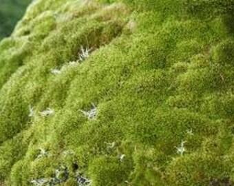 Rock cap moss 1 sq ft (live)