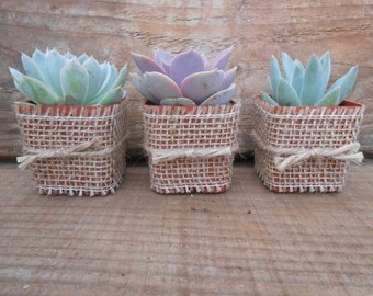 25 Rosette Succulents Wrapped In Burlap, Twine, Shower Gifts, Rustic Wedding, Great Favors,