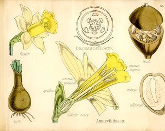 Daffodil Flower Print, Antique Botanical Print, 1874, Plate 95, Natural History, Vegetable Kingdom, Hand Colored, Black White
