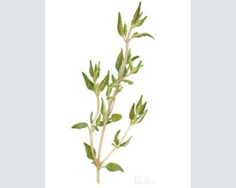 Fresh Thyme PRINT / Herb Drawing / Colored Pencil Art / Herb Art / Kitchen Art / Thyme Herb Print / ACEO Herb Art
