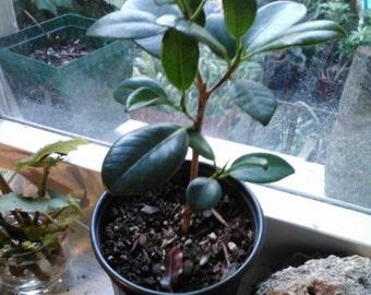 Green Island Ficus Plants