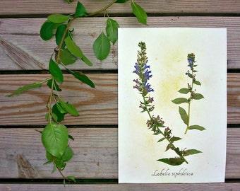 Blue Lobelia Herbarium Specimen - Real Pressed Botanical Art