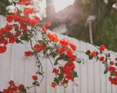Red Flower Photograph, Botanical Print, Floral, Bougainvillea, White Fence, Nature, Cottage Chic, Fine Art Photo, Red Flower Photo