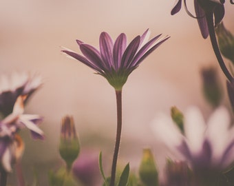 Pink Daisies Floral Photograph, Ethereal, Pastel, Pink, Romantic, Flower photograph, Pink Pastel Daisies, Wall decor, Feminine, Light Pink
