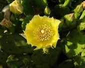 2 Hardy Prickly Pear Opuntia Cactus Pads