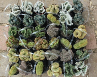 """3 Crested Cactus For Sale in their 3.5"""" round  containers All are labeled with names Euphorbia euphorbias succulents succulent"""