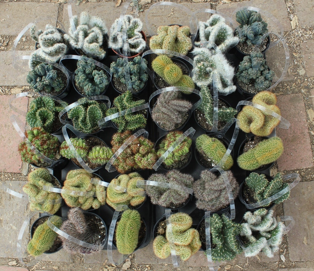 5 crested cactus for sale in their 3 5 round containers Cactus pots for sale