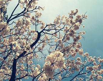 Yellow Blooming Tree Photography Print