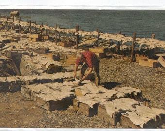 """Canada,  Nova Scotia, Vintage Postcard, """"Drying Salt Fish,Nova Scotia,""""   1950s. # 326-2."""