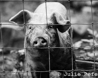 Farm Animal Pig Photo