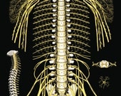 "The Spine and Spinal Nerves Poster 24"" X 36"""