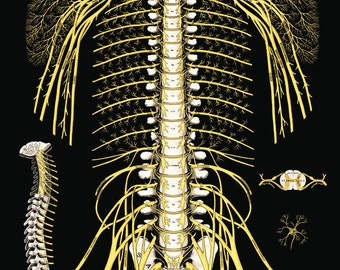 """The Spine and Spinal Nerves Poster 24"""" X 36"""""""