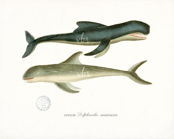 Antique Dolphins Print - Natural History Wall Decor Art
