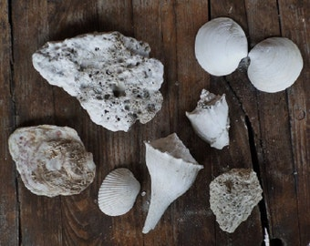 Shells Fossils Sedimentary Rock Whelk Conch Clam Oyster Barnacles Coquina Ark