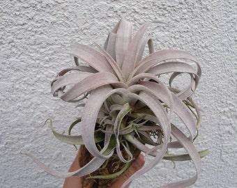 Large Tillandsia Chiapensis