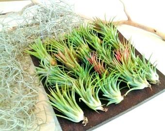 10 Air plants - FREE Moss - Wholesale air plants -  Wedding favors -  Tillandsia - diy projects - terrariums - crafts