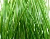 Cat Grass Wheat Seed