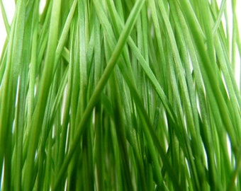 Cat Grass Wheat Seed