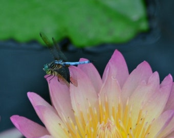 Dragonfly and The Waterlily 5x7 or 8x10 Print