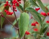 Tea Viburnum Plants