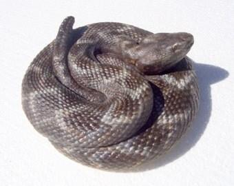 Coiled Rattlesnake Sculpture