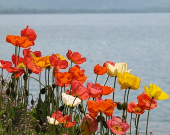 Photography,Nature,Flowers,Mothers Day, Poppies,Bright,Vibrant,Orange,Pink,Yellow,Archival Quality Prints