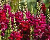 800 Seeds Antirrhinum majus Snapdragon Ruby Rocket Deep Red Garden Flower Bulk Seeds B8009