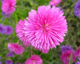 Heirloom 1000 Seeds Callistephus chinensis China Aster Pink Matsumoto Flower Bulk Seeds B4027