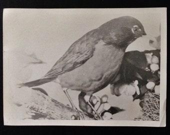Large Original Vintage Photograph Bird & Berries
