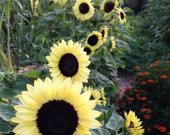 Organic Sunflower Seeds Valentine Sunflower Heirloom Sunflower Seed  Fresh 2015 Seeds