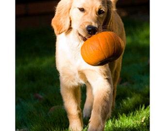 Golden Retriever Puppy with Pumpkin Photo Blank Card, Fall, Autumn, Halloween