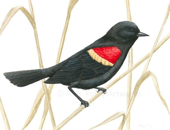 red winged blackbird coloring pages - photo#20