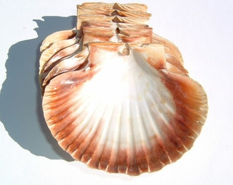 1970s Clam Hard-SeaShells for Party Decorations 7 pieces