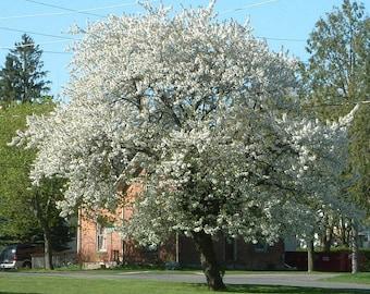 1000 Black Cherry Tree Seeds, Prunus Serotina