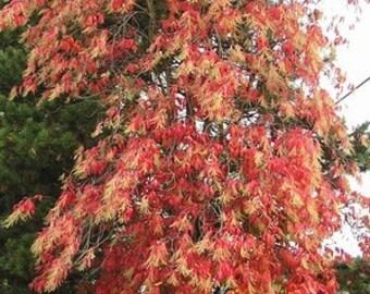 50 Sourwood Tree Seeds, Oxydendrum arboreum
