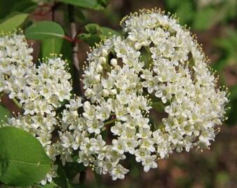 50 Tea Berry Viburnum Seeds, Viburnum cassinoides