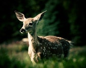 Wild life photography, Deer photo, Bambi picture, Deer print, Canada nature photography