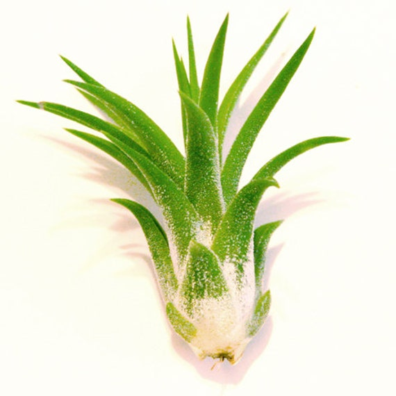 Ionantha Scaposa Air Plants 30 Day Air Plant By