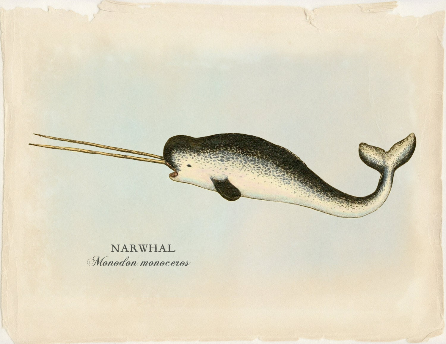 Narwhal Print Whale Art Nautical Prints & Posters Narwhal