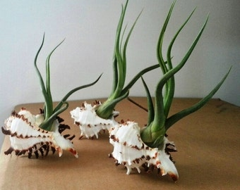 Trio of Bailyii Air Plants Hosted by Large Longtail Sea Shells as natural terrariums