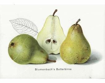 Original Antique Fruit Print -  Blumenbach's Butter Pears