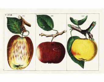 Original Antique Natural History Botanical Apples Fruit Print -  Hand Colored Engraving