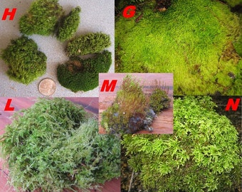 Moss and Lichens for your Terrariums, Floral or Home Projects!!!!