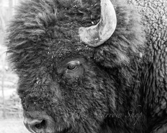 American Bison (Buffalo) Print _ Yellowstone National Park, Fine Art Photography