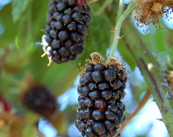 Arapaho Blackberry Plant Thornless Sweet Blackberry Grown Organic 2.5 Quart Potted