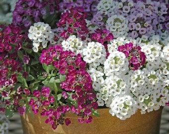 Alyssum  flower seeds ,white,lobularia maritima, gardening, flower seeds, flower mix seeds, spring flowers, code 509, greek flowers,