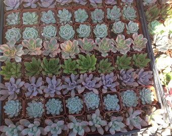 Succulent plant listing, ten 2 inch succulents. We will hand select a  beautiful assortment of succulents