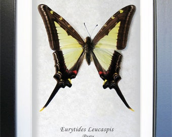 Long Tailed Eurytides Leucaspis Real Butterfly From Peru Framed In Shadowbox