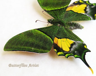 RARE Teinopalpus Imperialis Emperor Of India Swallowtail Butterflly In Museum Quality Display