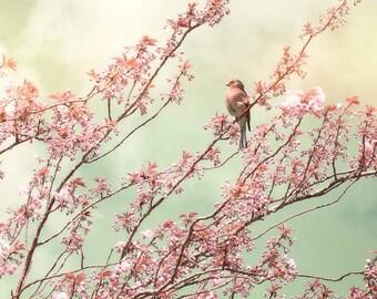 Nature photography, Bird, Chaffinch, Blossom, Spring, Tree, Pink, Aqua, Wall Decor.